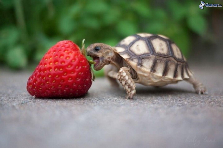 fragola tartaruga